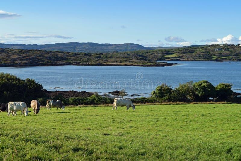 Cork And Cows occidental photos libres de droits