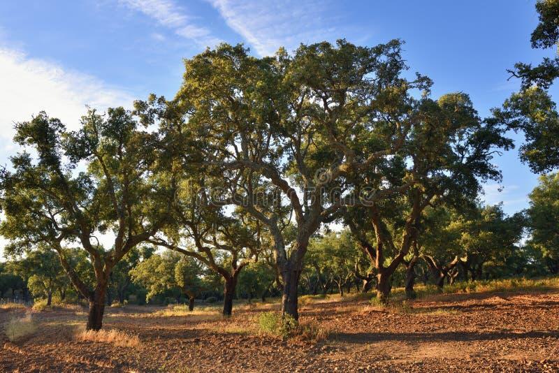 Cork eiken bomen, Portugal royalty-vrije stock afbeeldingen