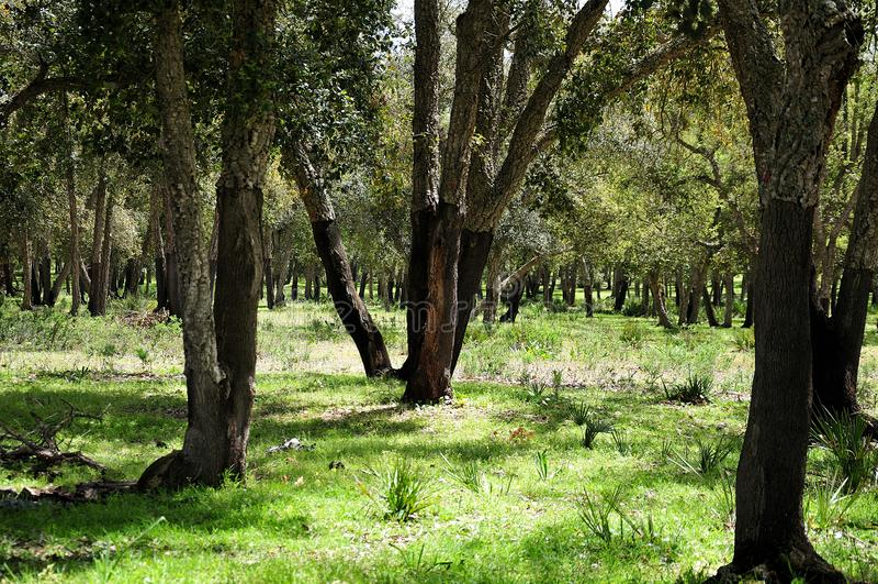 Cork eiken bos dichtbij Rabat, Marokko stock afbeelding