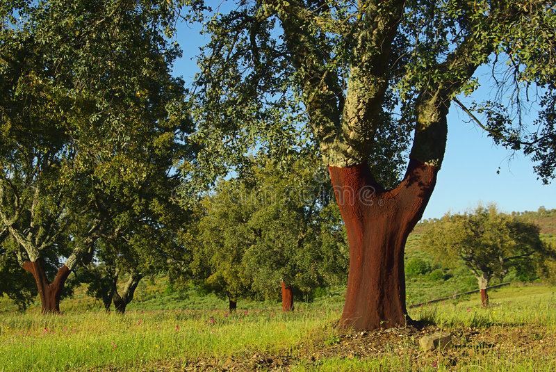 Cork oak 04 stock image