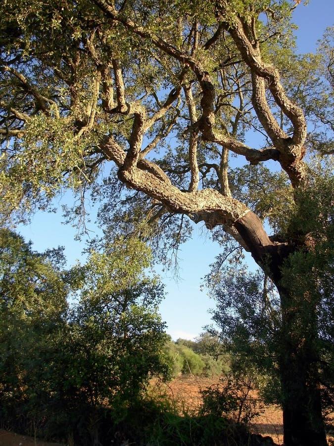 Cork oak royalty free stock photos