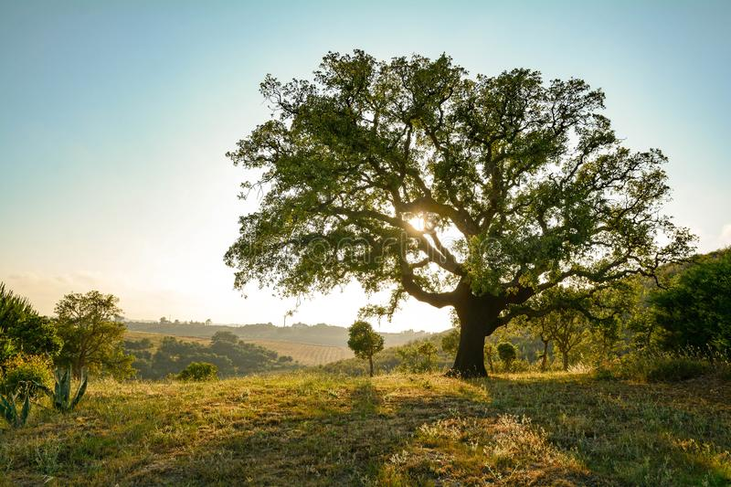 Cork oak tree Quercus suber and mediterranean landscape in evening sun, Alentejo Portugal Europe. Cork oak tree Quercus suber and mediterranean landscape in the royalty free stock photography