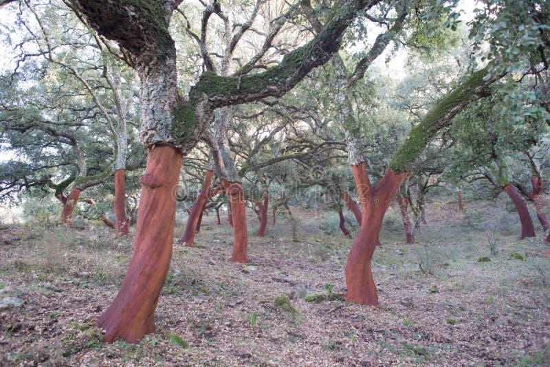 Cork oaks, cork-producing trees, Cádiz, Southern Spain stock photo