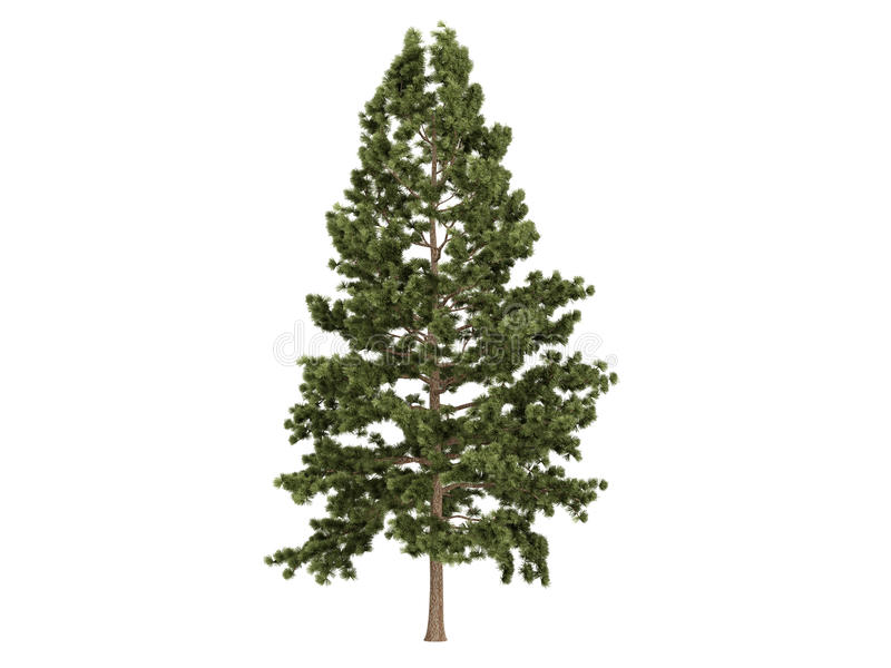 Cork_pine_ (Pinus_strobus) ilustración del vector