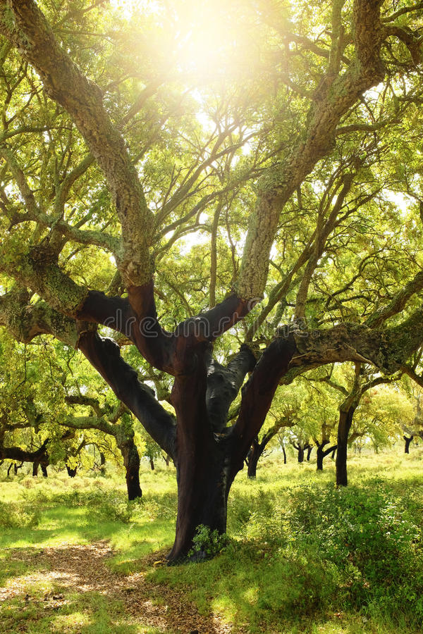 Cork Tree. Large cork tree field under bright sunlight stock image