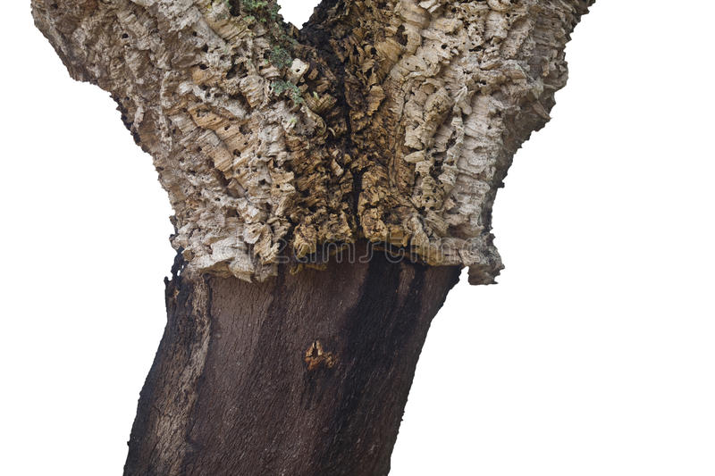 Cork tree trunk royalty free stock photo