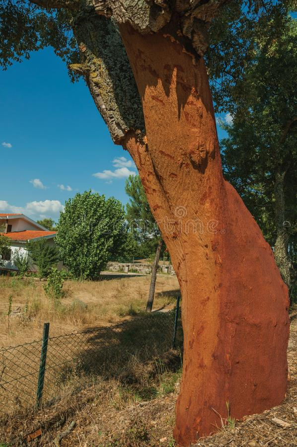Cork tree trunk with the bark removed. Cork tree trunk, very common in Portugal, with the bark removed to produce corks and other products, at Serra da Estrela stock image