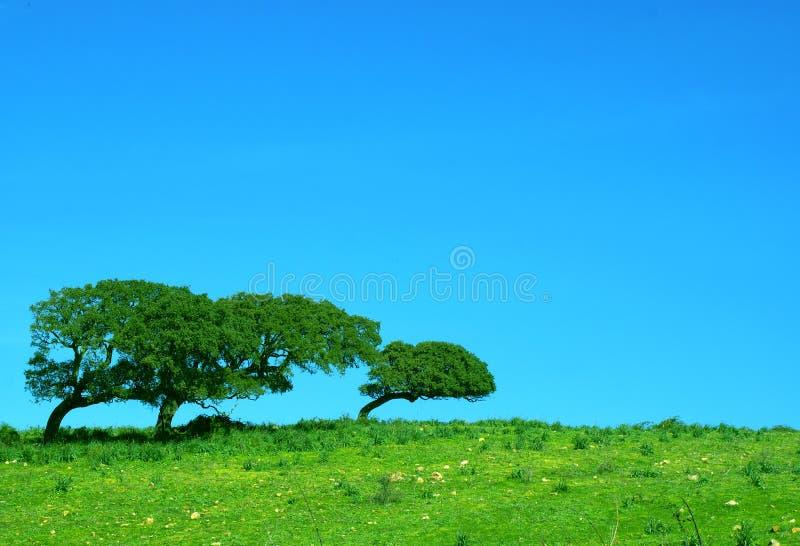 Cork trees bent stock photography