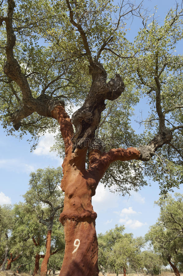 Download Cork trees stock image. Image of portugal, suber, trunk - 30086465