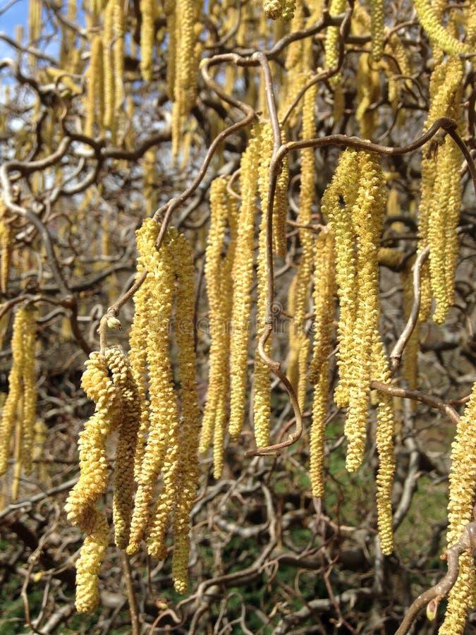 Corkscrew Orzechowa roślina Kwitnie z baziami w wiośnie w ogródzie fotografia royalty free
