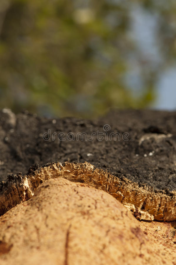 Download A corkwood tree stock photo. Image of natural, crust - 26414378