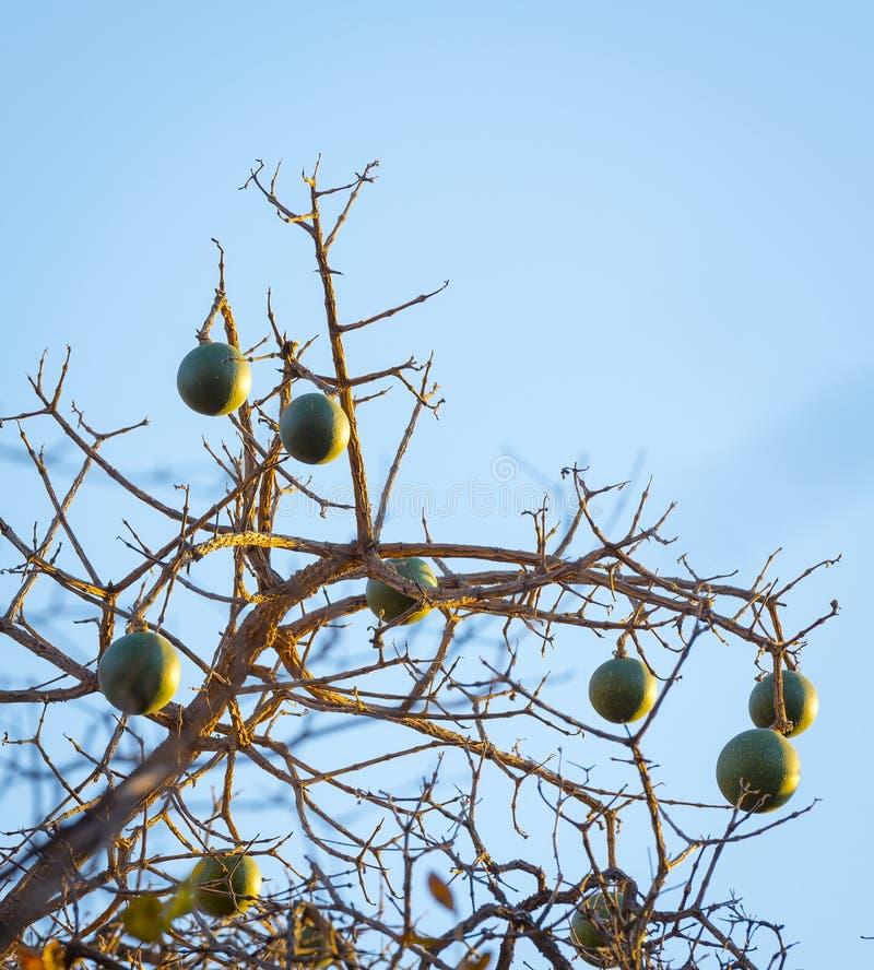 Corky Bark Monkey Orange Fruit fotografia de stock