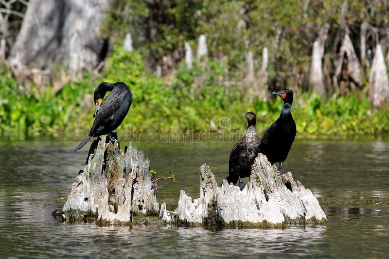 Cormorán Doble-con cresta tres que se sienta en tocón de árbol en el parque nacional de los marismas - la Florida - los E.E.U.U. imágenes de archivo libres de regalías
