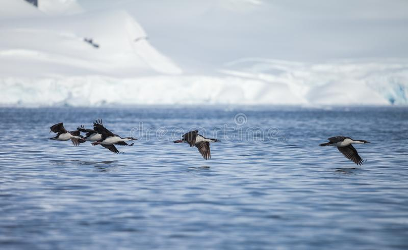 Cormorão de olhos azuis na Antártica fotos de stock royalty free