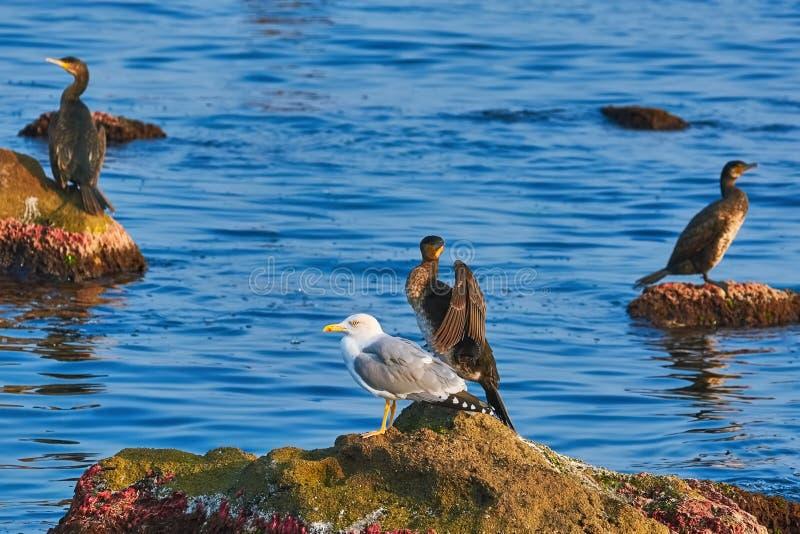 Cormorão e gaivota na rocha imagens de stock