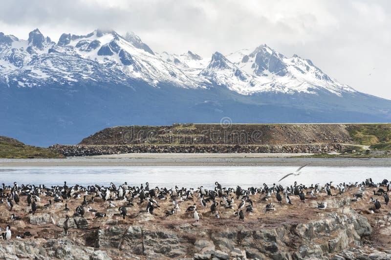 Cormorões no canal do lebreiro, Ushuaia, Tierra del Fuego fotografia de stock