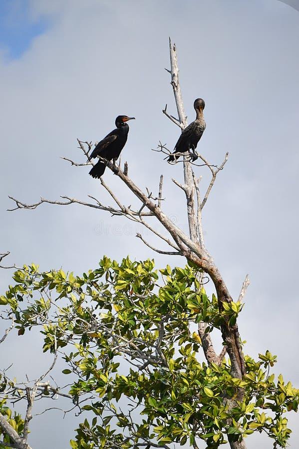 Cormorões (Phalacrocoracidae) Placencia, Belize foto de stock