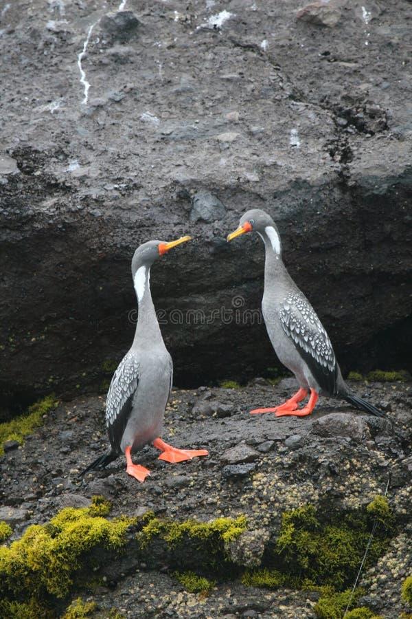 Cormoran à pieds rouges sur la roche photo stock