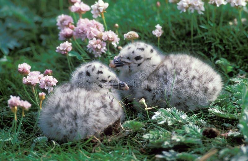 cormoran de nanas grand photos stock