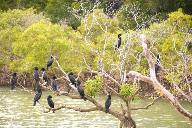 Cormoranes negros en árbol imagen de archivo libre de regalías