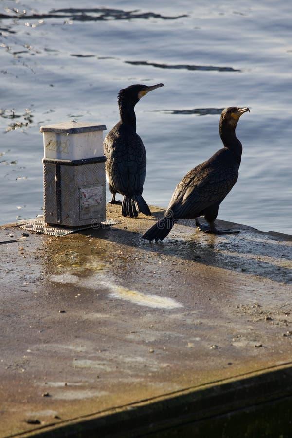 Cormoranes que miran Seawards foto de archivo libre de regalías