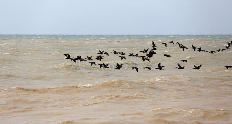 Cormoranes que vuelan sobre el mar imagen de archivo