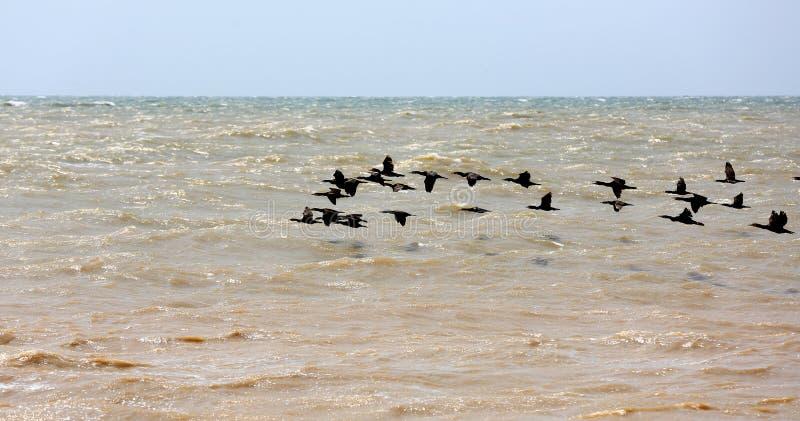 Cormoranes que vuelan sobre el mar imágenes de archivo libres de regalías