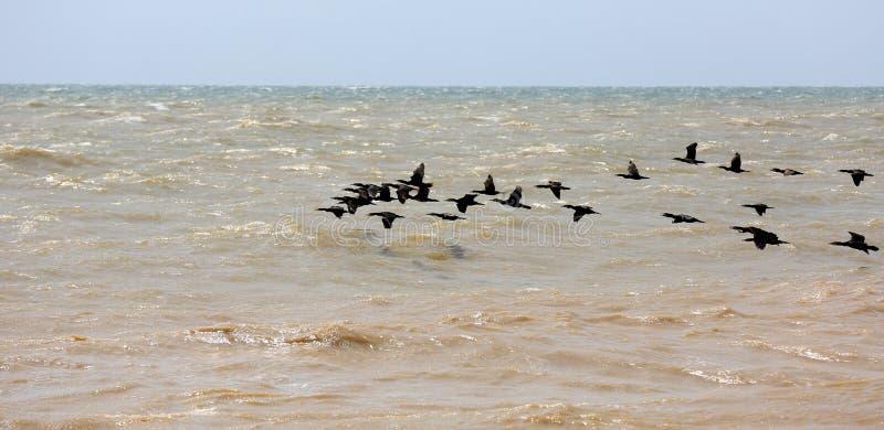 Cormoranes que vuelan sobre el mar fotografía de archivo