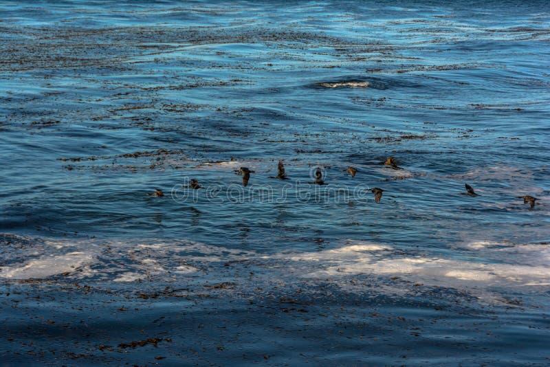 Cormoranes que vuelan sobre el océano, California foto de archivo