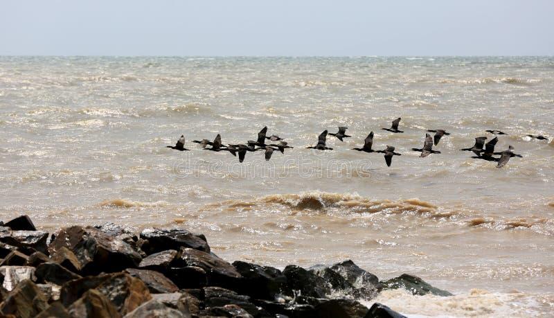 Cormoranes que vuelan sobre superficie del mar fotos de archivo libres de regalías