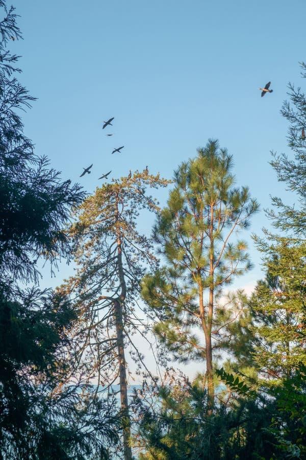 Cormoranes sobre los árboles imágenes de archivo libres de regalías