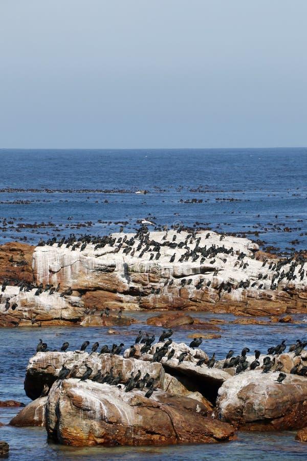 Cormorani al Capo di Buona Speranza fotografia stock