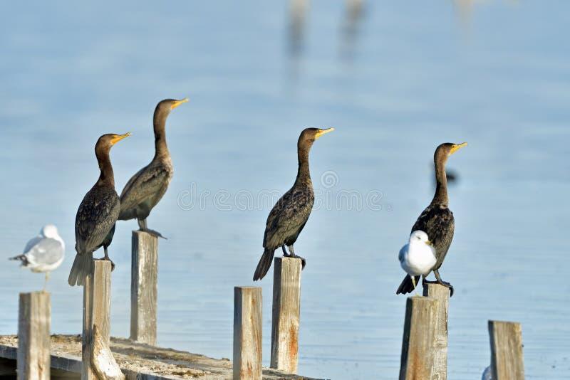 Cormorani che si asciugano su fotografia stock