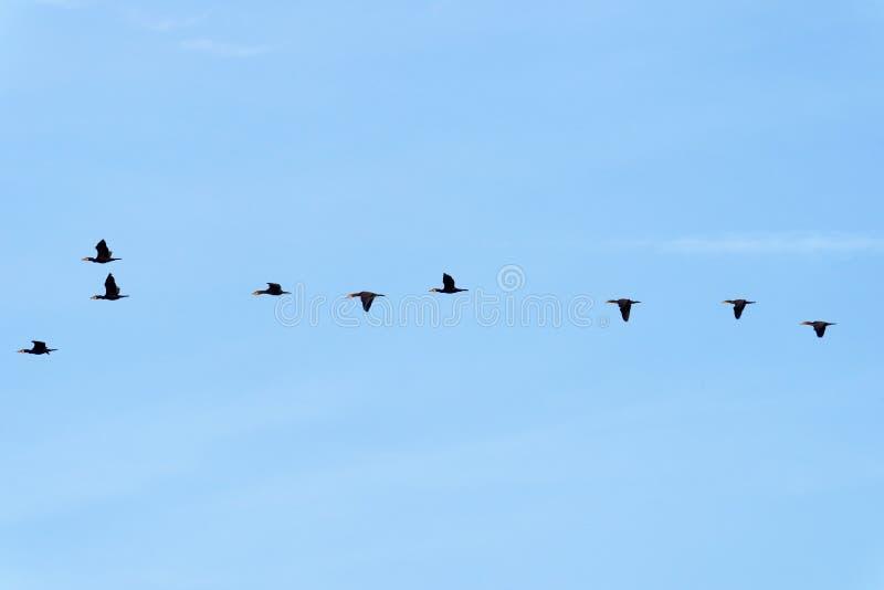 Cormorani che volano nel paese di Ile de France fotografia stock