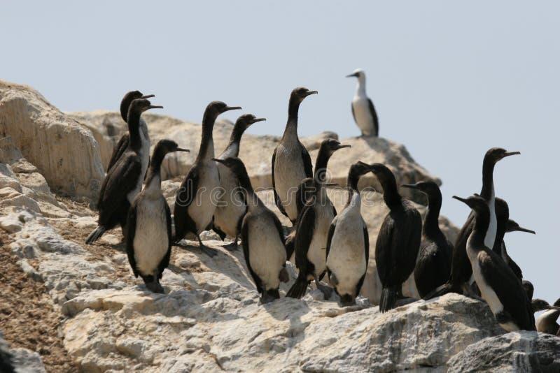 Cormorani di Guanay su roccia fotografia stock