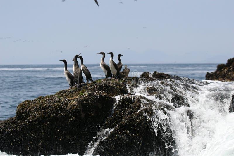 Cormorani di Guanay su roccia immagini stock