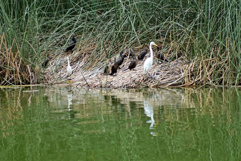 Cormorani di Neotropic e grandi egrette dal lago immagine stock libera da diritti