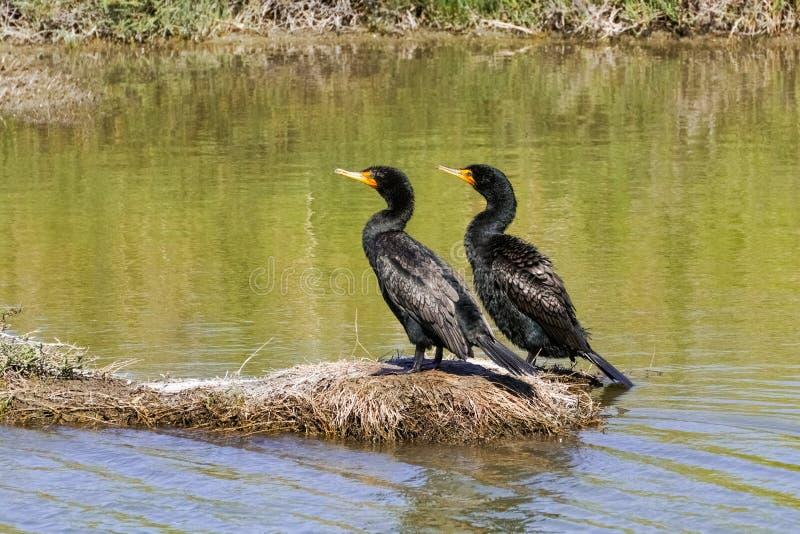 Cormorani a doppia cresta, California immagini stock libere da diritti