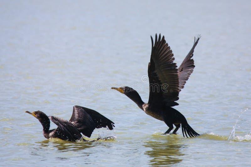 Cormorani a doppia cresta che prendono volo fotografie stock