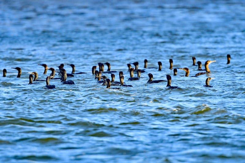 Cormorani a doppia cresta di una moltitudine nello stagno fotografia stock libera da diritti
