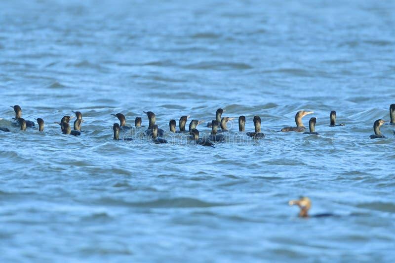 Cormorani a doppia cresta di una moltitudine nello stagno fotografie stock libere da diritti