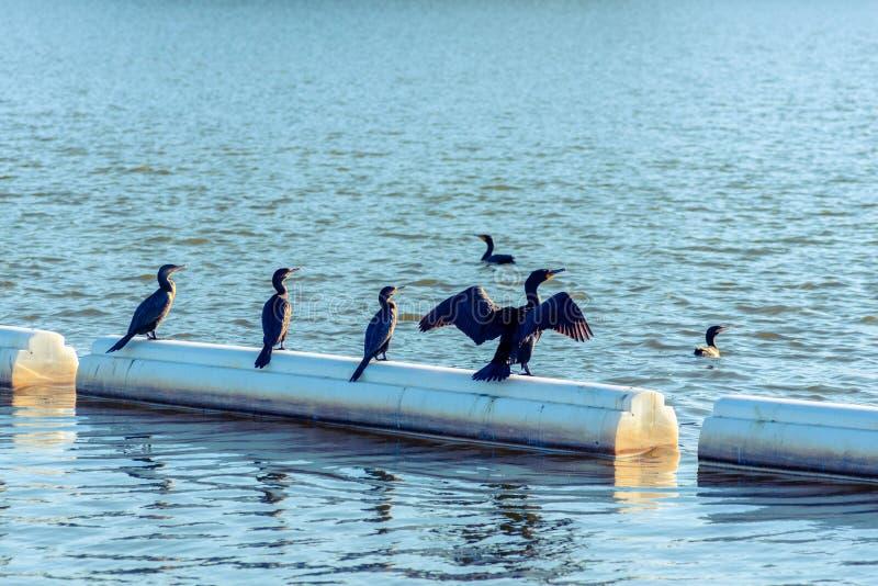 Cormorani a doppia cresta fotografia stock