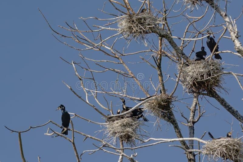 Cormorani nei loro nidi negli alberi nudi di un albero morto immagini stock libere da diritti