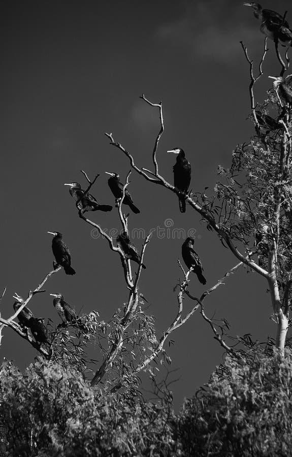 Cormorani su un albero di eucalyptus che cerca pesce immagine stock