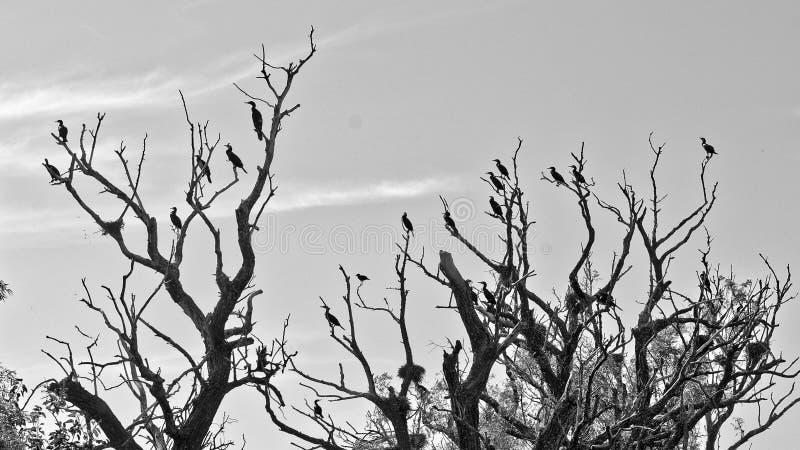 Cormorani sugli alberi morti sul delta di Danubio fotografia stock libera da diritti