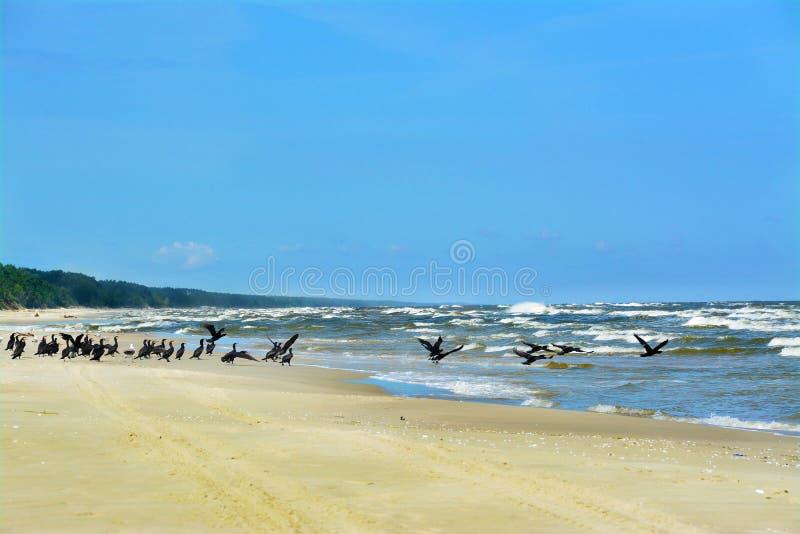 Cormorani sulla spiaggia, mare, Polonia immagine stock libera da diritti