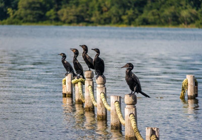 Cormorani in un pilastro - Flores, Peten, Guatemala di Neotropic immagini stock