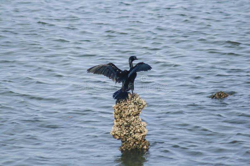 Cormorano di Giava sulle rocce in acqua immagini stock
