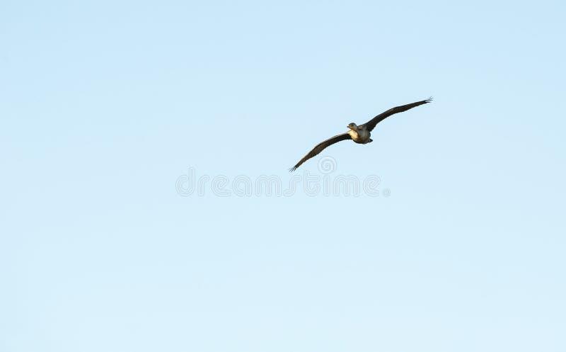 Cormorano a doppia cresta acerbo in volo fotografie stock libere da diritti