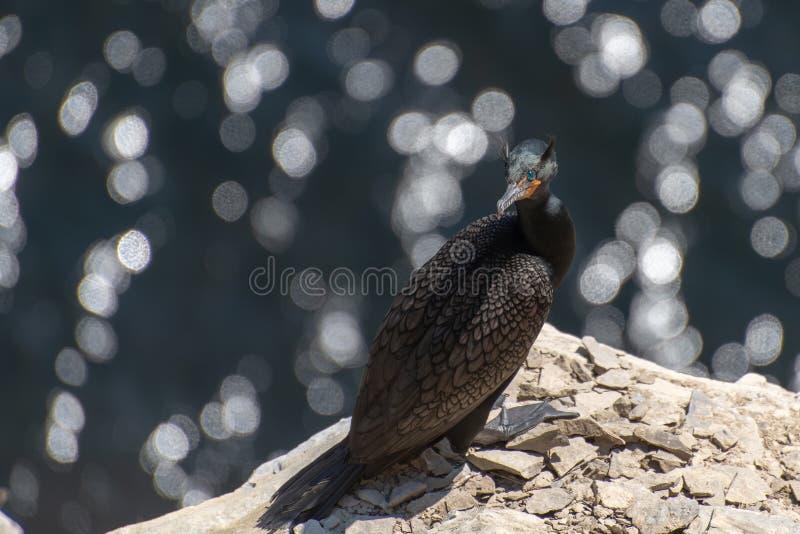 Cormorano a doppia cresta appollaiato sull'alta scogliera costiera fotografia stock